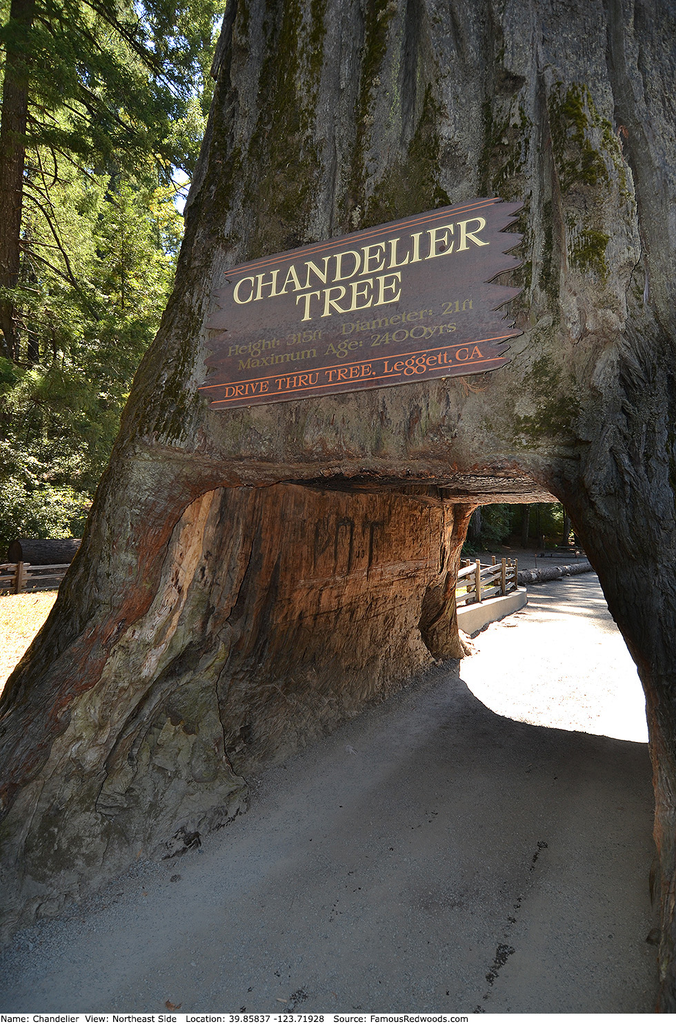 Chandelier tree famous redwoods chandelier drive thru tree aloadofball Choice Image