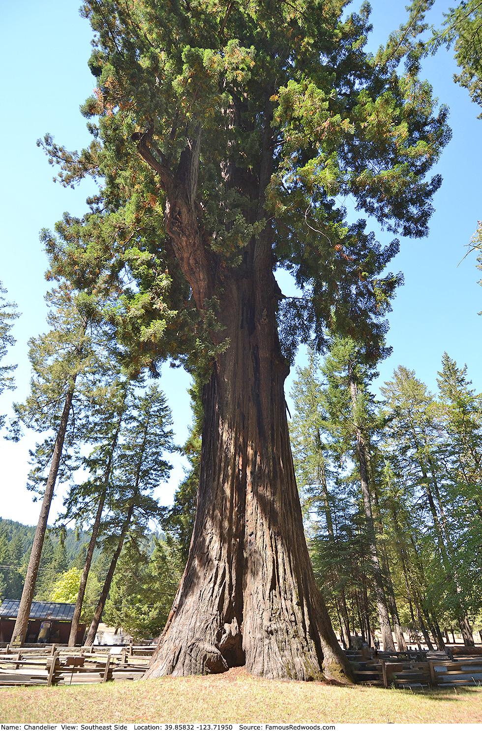 Chandelier Tree - Famous Redwoods