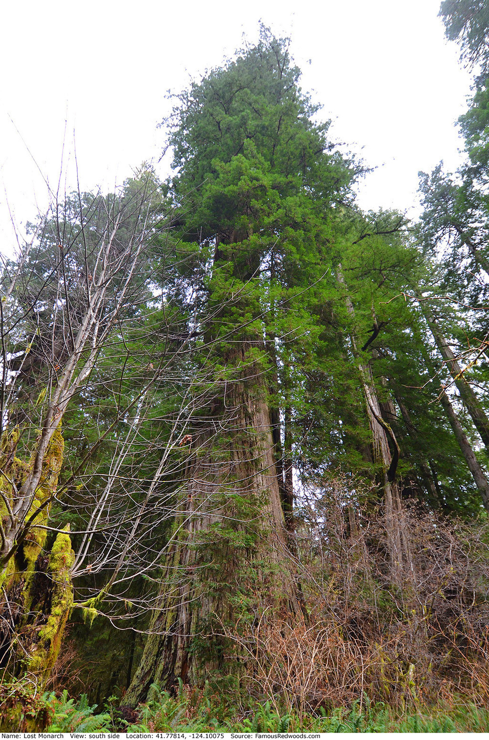 Lost Monarch Tree - Famous RedwoodsLost Monarch Tree